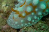 pic of echinoderms  - Underwater photography of a nudibranch in ocean - JPG