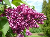 stock photo of lilac bush  - Purple lilac bush on sunny spring day - JPG