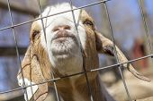 foto of peer  - Kinder Goat peers through the fence and puckers his lips for a kiss - JPG