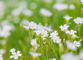 foto of musky  - Blooming white flowers of chickweed in green grass - JPG
