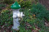 Fire Hydrant Ivy