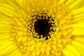pic of yellow flower  - close up of a yellow flower intended for background - JPG