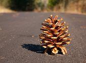 Lone Pine Cone