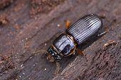 Ground Beetle 1