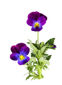 stock photo of violet flower  - Purple pansy flower plant isolated on white - JPG