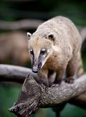 image of coatimundi  - portrait of a very cute White - JPG