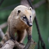 portrait of a very cute White-nosed Coati (Nasua narica) aka Pizote or Antoon. Diurnal, omnivore mam