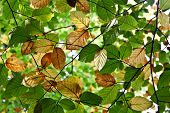 Composition Of Oak Leaves