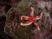 Lined Chiton And Red Banded Starfish