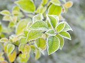 Plant covered with morning frost
