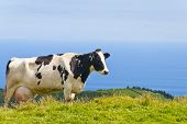 Cow By The Sea