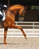 stock photo of sorrel  - Dressage - JPG