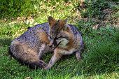 Fox At Rest