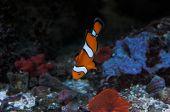Clown_Fish_2
