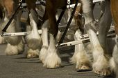 stock photo of clydesdale  - One of the most unique features of clydesdales are their hooves covered by long hair - JPG