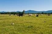 stock photo of klamath  - Cattle in a field near Fort Klamath Oregon - JPG