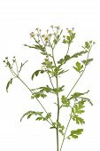 picture of feverfew  - Twig of fresh Feverfew flowers on white background - JPG