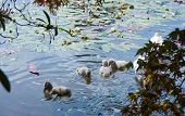 Baby Cygnets on the water