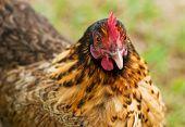 Bantam Hen Backyard Organic Poultry