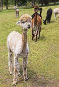 Shaven Alpaca in Field
