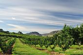 Vineyards And Orchards In Osoyoos, Okanagan Valley
