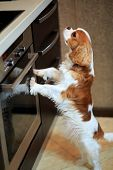 The Dog A King Charles Spaniel A Dog Wants To Eat And Stands Near The Gas Stove. poster