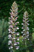 Acanthus Mollis, Or Bear's Breeches, A Herbaceous Perennial Plant