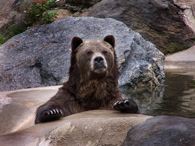 picture of grizzly bear  - a grizzly bear - JPG