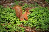 Small, Cute And Furry Squirrel On The Ground In Spring City Park poster