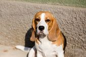 Portrait Cute Face Beagle Dog. Closeup Breed Dog Portrait. Beagle  Sits With His Tongue Sticking Out poster