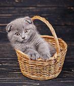 Scottish Fold Kitten. Gray Kitten On Photo Studio poster