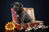 Cane Corso Puppy Sits In Suitcase
