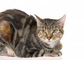 Close Up Of Bengal Tabby Mix Cat With Green Eyes On White Background. The Bengal Cat Is A Domesticat poster