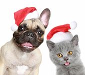 French Bulldog And Grey Kitten In Red Christmas Cap On A White Background