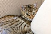 Cute Tabby Kitten Laying In The Sofa poster