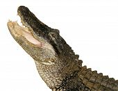 image of alligators  - an alligator with its mouth wide open and ready to snap - JPG