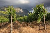 Vineyard with stormy background