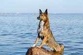 The Gulf Of Finland. Young Energetic Half-breed Dog Is Standing On A Stone At Sunset. Doggy Is Playi poster