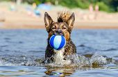 The Gulf Of Finland. Young Energetic Half-breed Dog Is Jumping Over Water. Doggy Is Playing With Bal poster