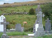 Cow In Irish Cemetary