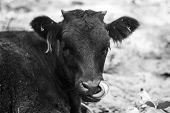 A Cute And Funny Cow Sticks Its Tongue Out In Her Nose. The Calf Stuck Out His Tongue In The Pasture poster