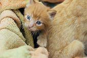 Blurred Image Of Cute  Red Tabby Kitten. Animals Day, Mammal, Pets Concept. Animals Rescue. poster