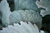 Nature background. Pretty, furry leaves up close. poster
