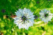 Cumin Flower