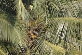 A coconut tree loaded with bunches of coconut fruits