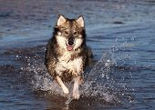 image of loki  - A Utonagan dog splashing in the sea at the beach - JPG