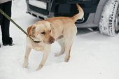 Cute Golden Labrador Walking With Owner In Snowy Winter Park. Mixed Breed Labrador On A Walk With Pe poster