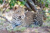 Hombre leopardo