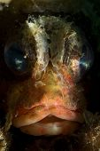 Face of Scorpionfish in Lembeh Straits