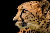 Detail Cheetah On Black Background. Detail Cheetah. Feline On The Black. Very Fast Feline.  Fastest  poster